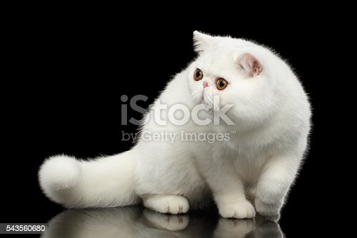 istock Unusual Pure White Exotic Cat, Red Eyes, Isolated Black Background 543560680