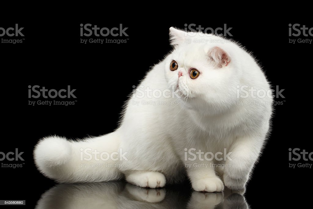 Unusual Pure White Exotic Cat, Red Eyes, Isolated Black Background stock photo