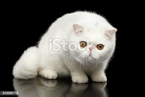 istock Unusual Pure White Exotic Cat, Red Eyes, Isolated Black Background 543560718