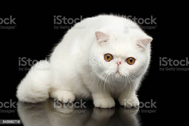 Unusual pure white exotic cat red eyes isolated black background picture id543560718?b=1&k=6&m=543560718&s=612x612&h=tupazhuhwrpktia5em5quznkhcskztlsc fo0uex ws=