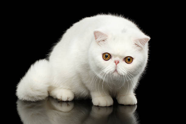 Unusual Pure White Exotic Cat, Red Eyes, Isolated Black Background - Photo