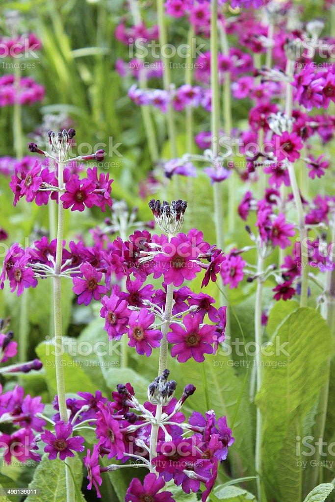 Unusual purple candelabra primula with purple flowers, growing in garden stock photo