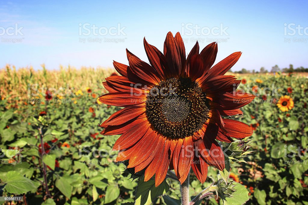 Unusual red/orange sunflower in a field of sunflowers and corn. royalty-free stock photo