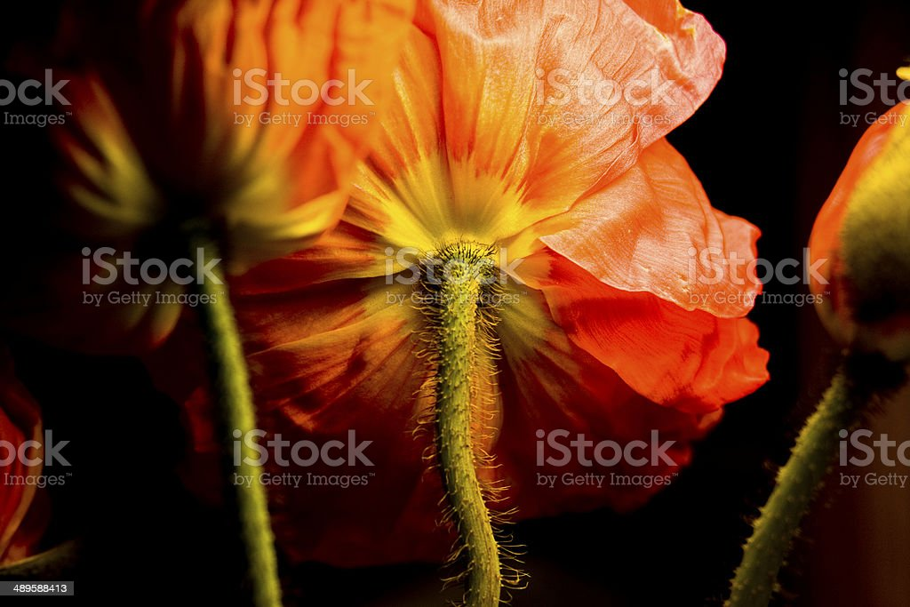 Unusual Side of a Red Poppy stock photo