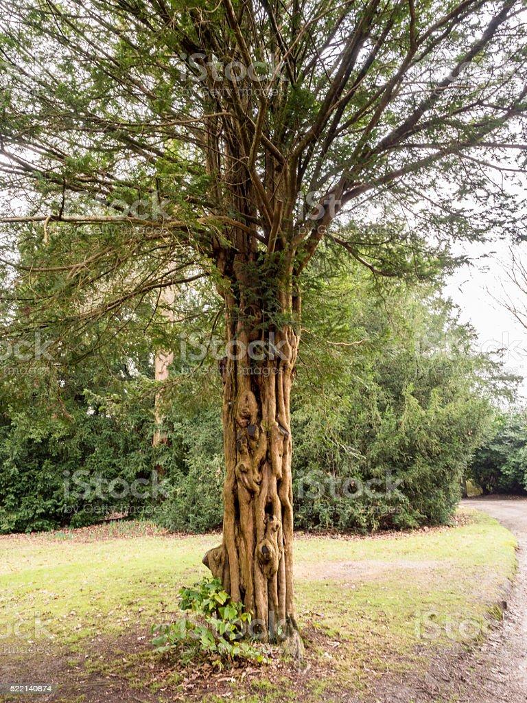 Unusual tree bark at Tatton park gardens stock photo