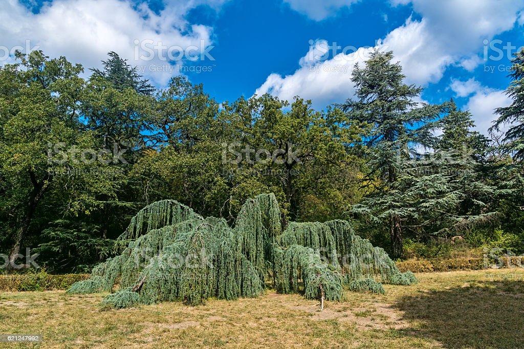 Unusual tree in Massandra Park stock photo