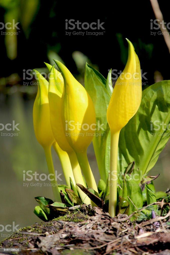 Unusual Yellow Skunk Cabbage Plant stock photo