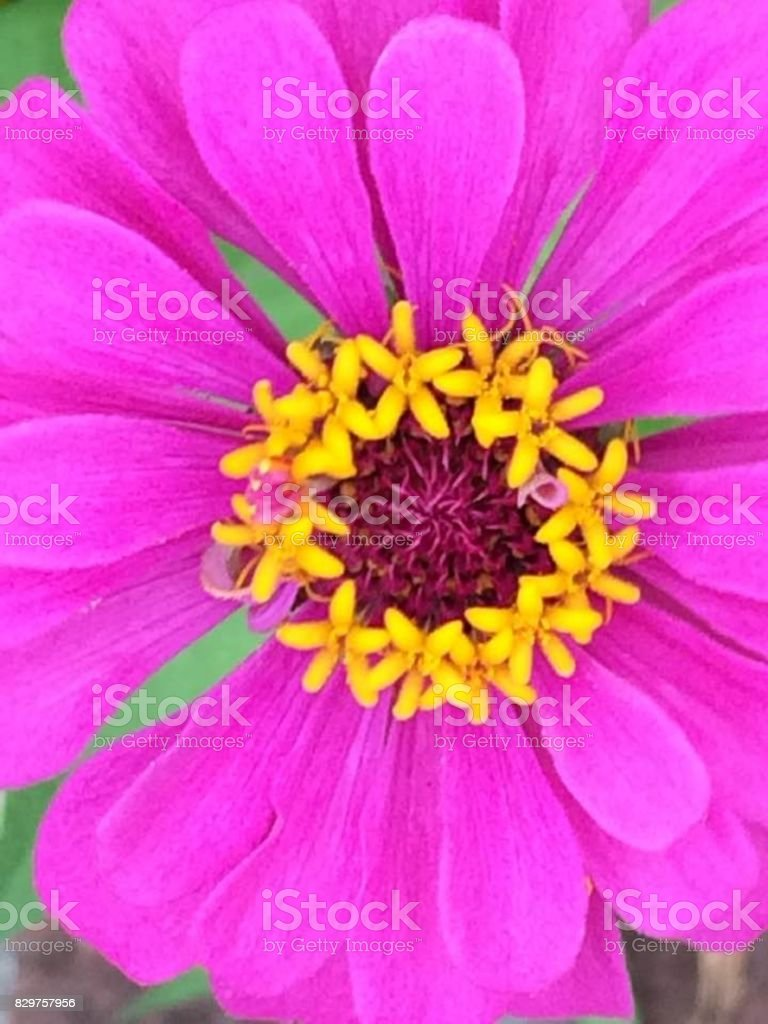 Up close and personal Zinna stock photo