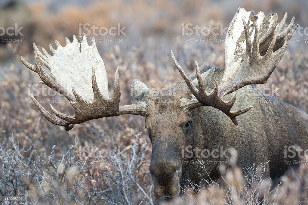 Up Close Bull Moose stock photo