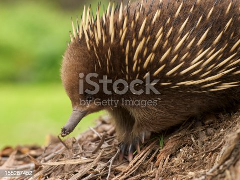 The cute and cuddly echidna native to Australia.  This one photographed in the wild in Tasmania, Australia