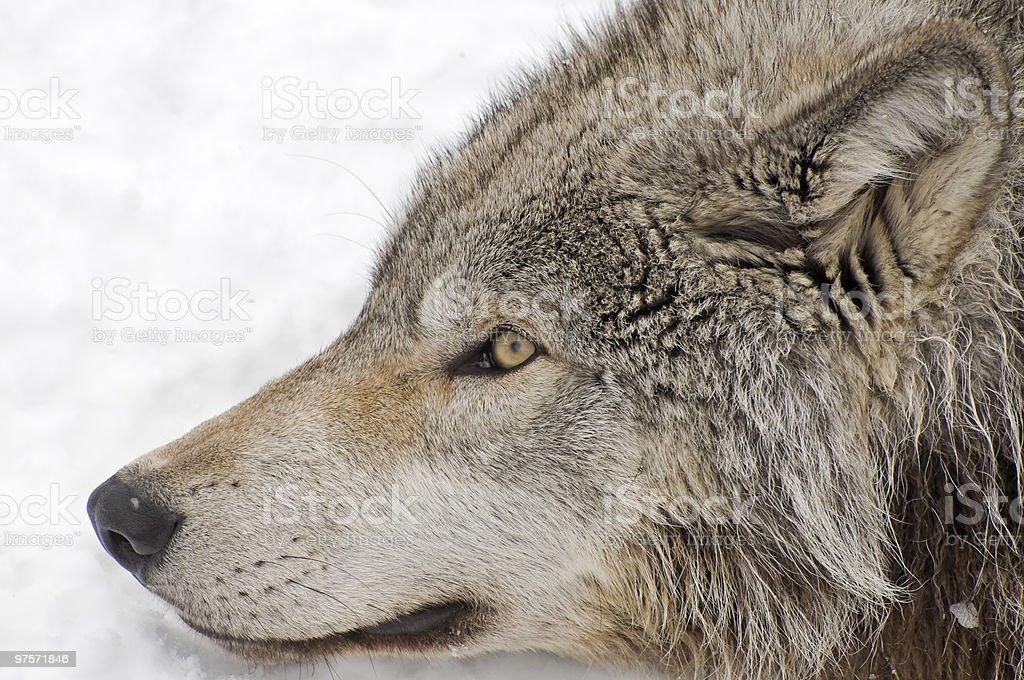 Près de loup photo libre de droits