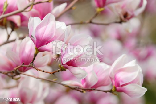 Magnolia flowers on tree branch