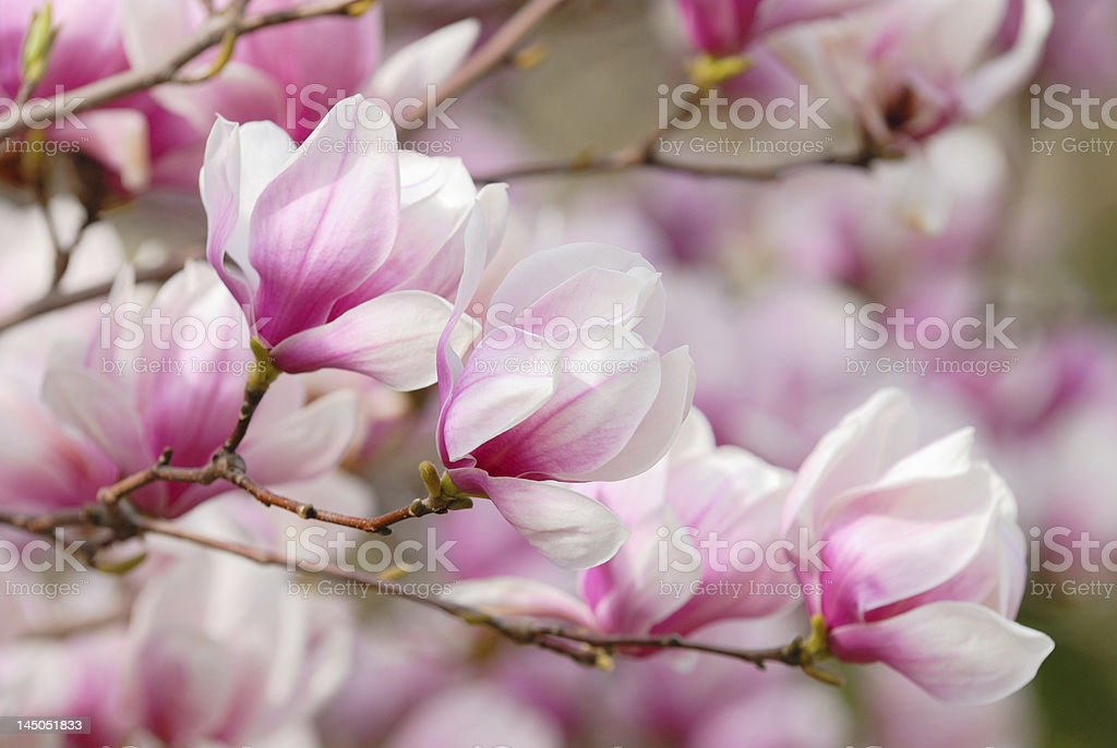 Up close view of Magnolia tree  stock photo