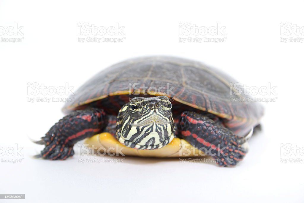 Up Close With Water Turtle royalty-free stock photo