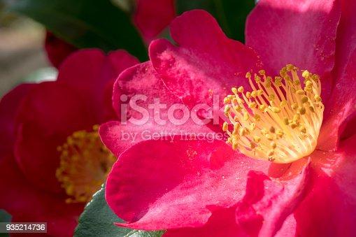 Up of camellia flower