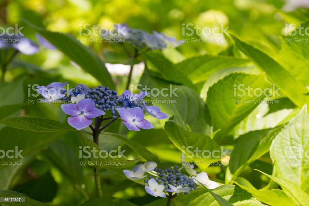 Up of the blue hydrangea blooming in the street corner royalty-free stock photo