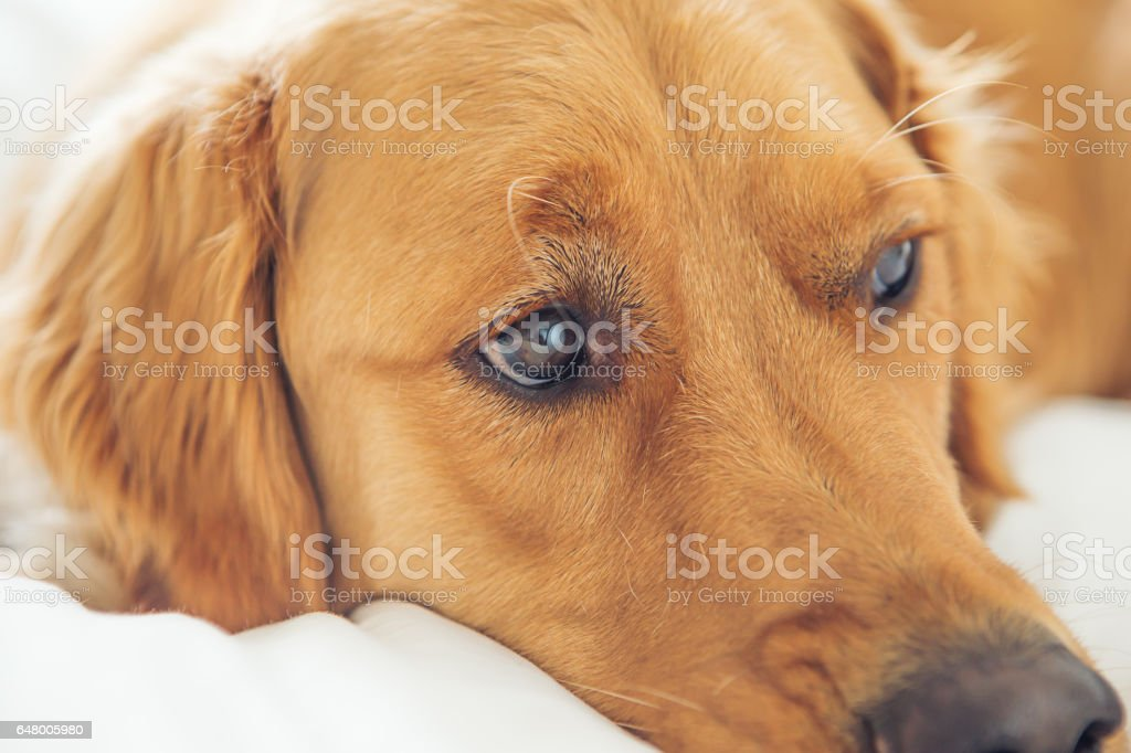 Upclose Golden Retriever laying in bed stock photo