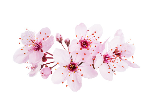 Up-close light pink Cherry blossoms ( Sakura) isolated on a white background.