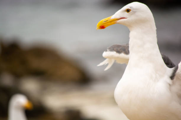 Up-Close with the Seagulls of Pebble Beach stock photo
