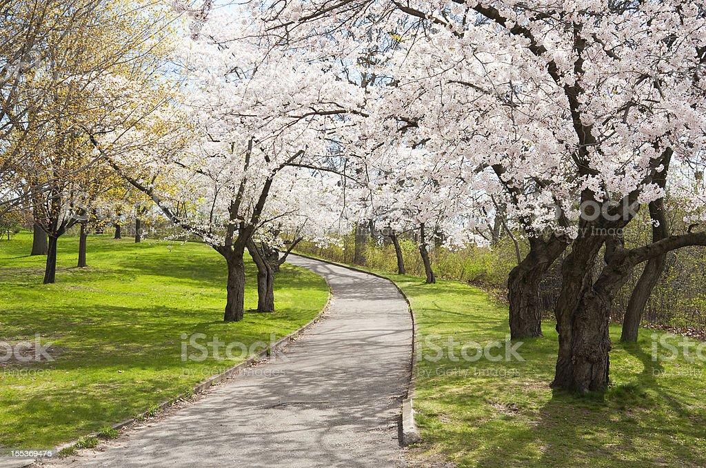 Uphill Climb with Cherry Trees stock photo