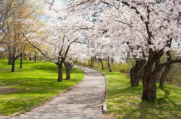 오르막 등반하기, 벚꽃 나무 - 토론토 온타리오 뉴스 사진 이미지
