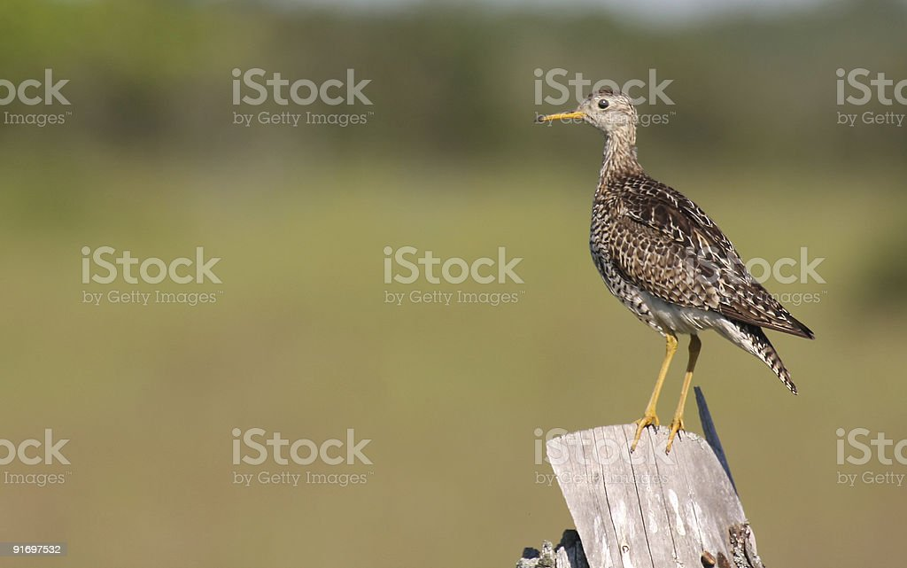 upland sandpiper perched on a fence post stock photo