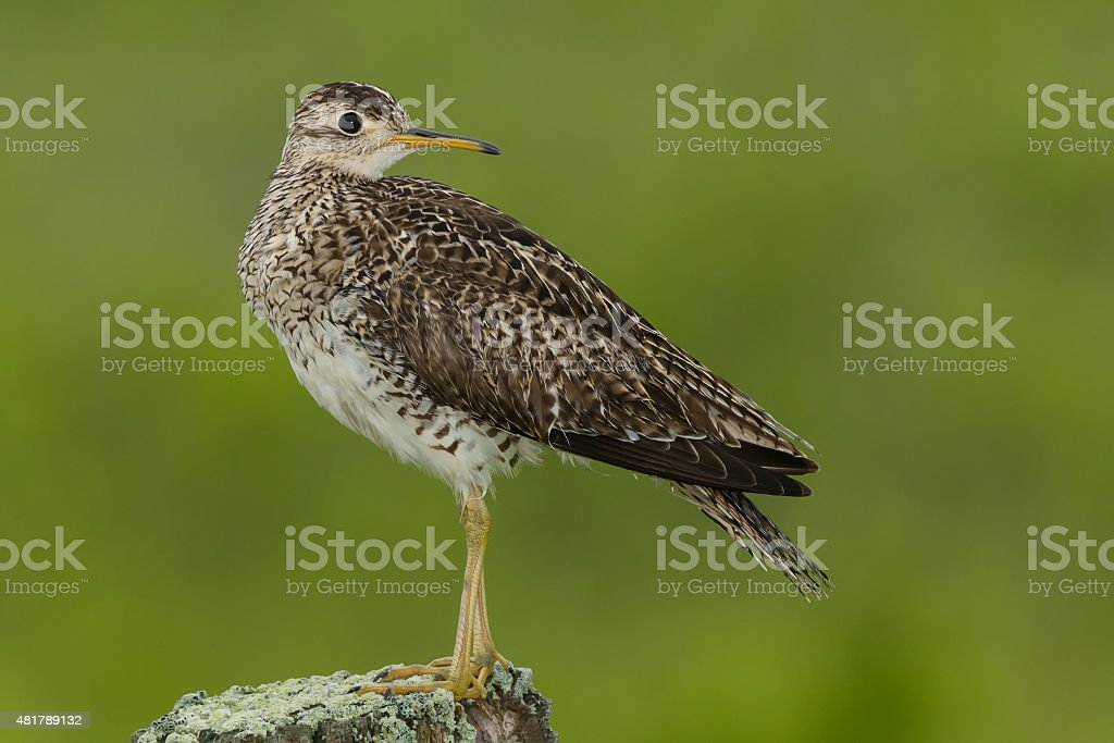 Upland Sandpiper stock photo