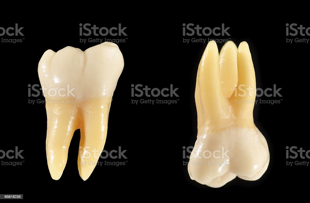 Upper and lower molar teeth isolated on black stock photo