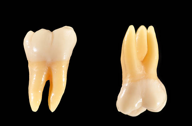 Upper and lower molar teeth isolated on black  cusp stock pictures, royalty-free photos & images