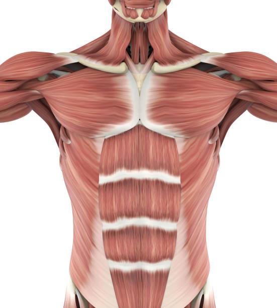anatomie des muscles antérieurs supérieur - sternum photos et images de collection