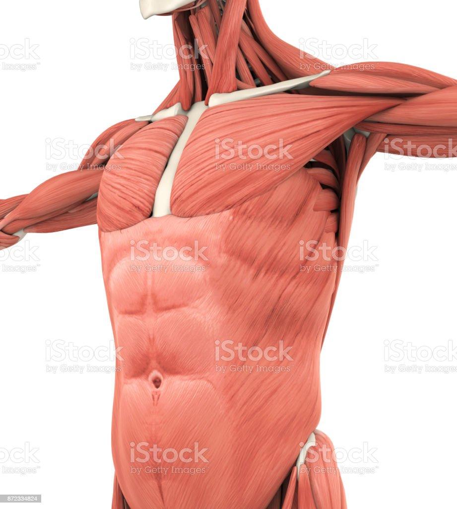 Upper Anterior Muscles Anatomy stock photo