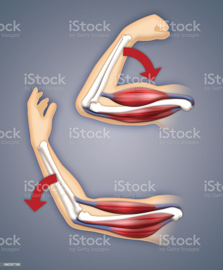 Upper arm muscles stock photo