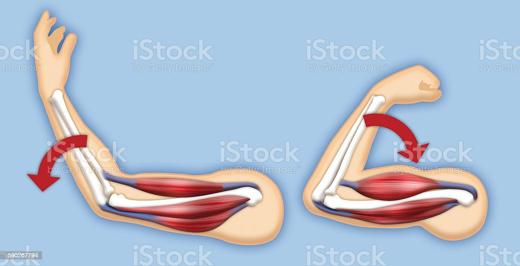 Upper Arm Muscles Stock Photo & More Pictures of Anatomy | iStock