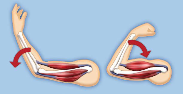 Upper arm muscles – Foto