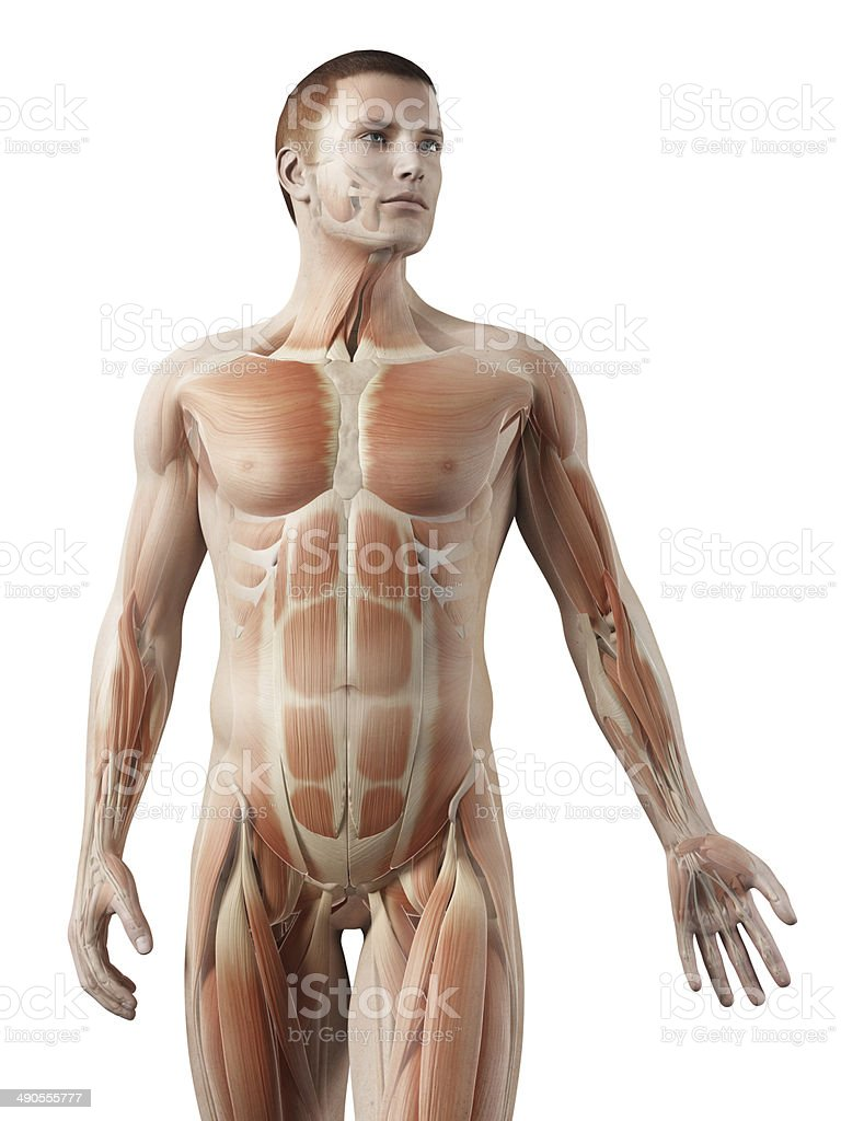 Upper Body Muscles Stock Photo & More Pictures of Abdomen | iStock