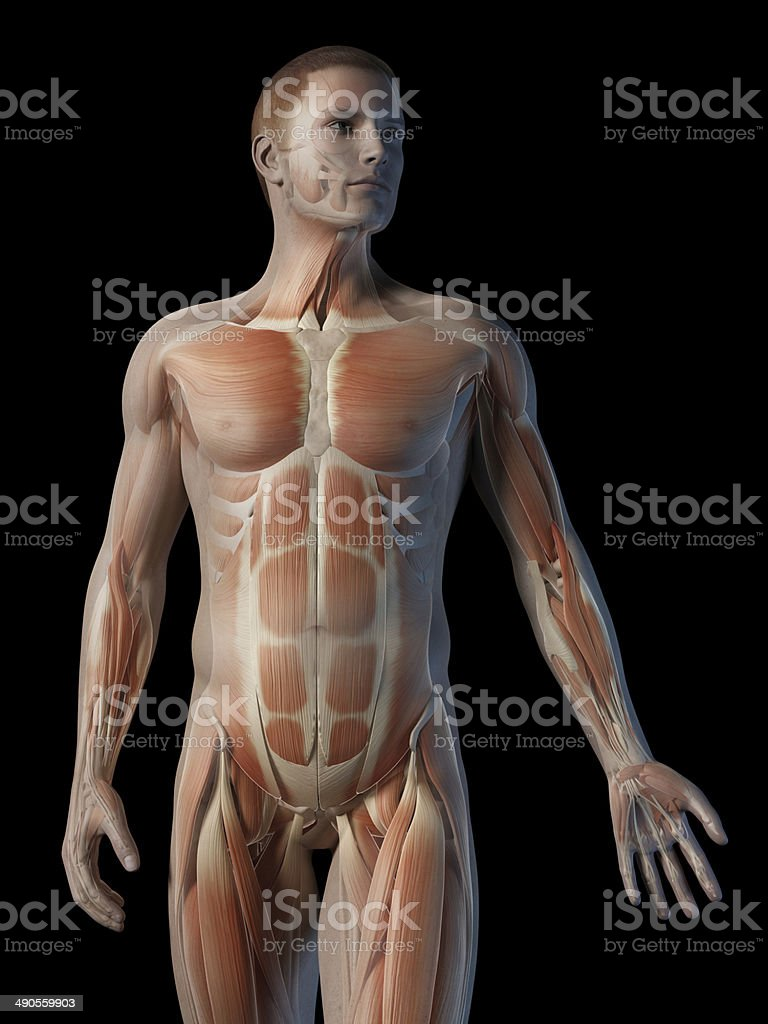 Upper Body Muscles Stock Photo More Pictures Of Abdomen Istock