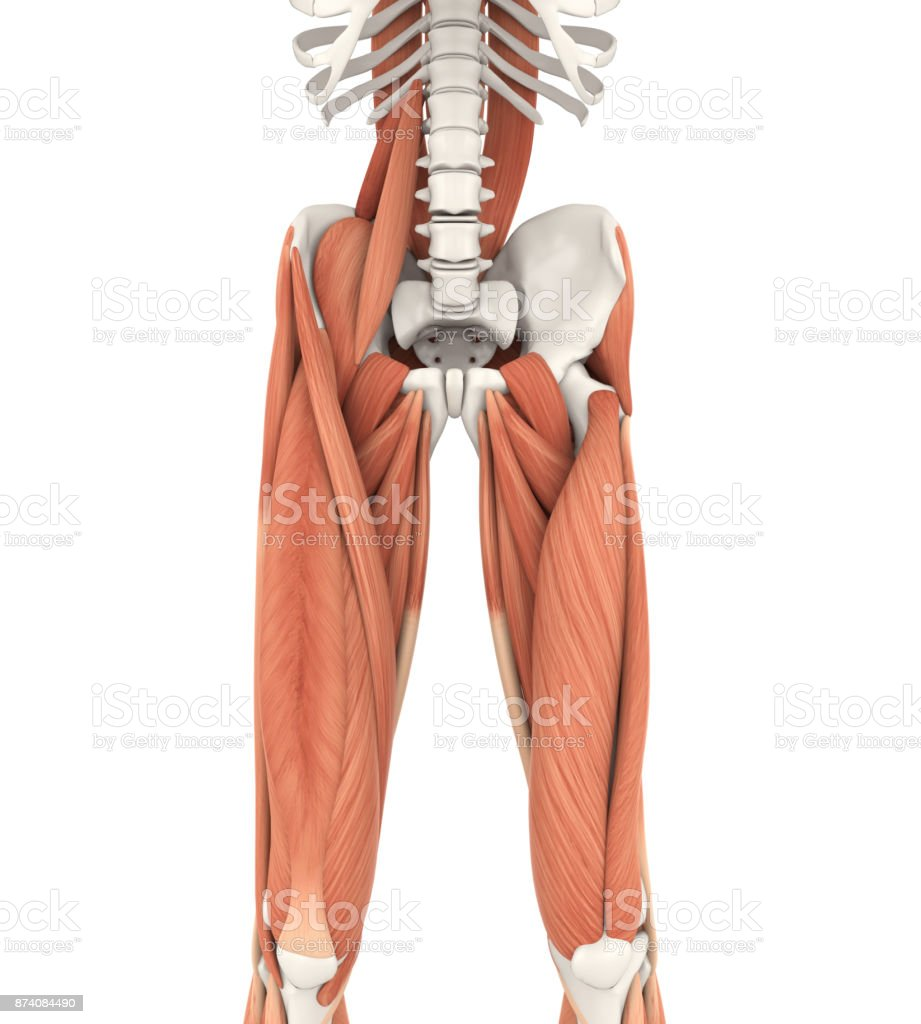 Upper Legs and Psoas Muscles Anatomy stock photo