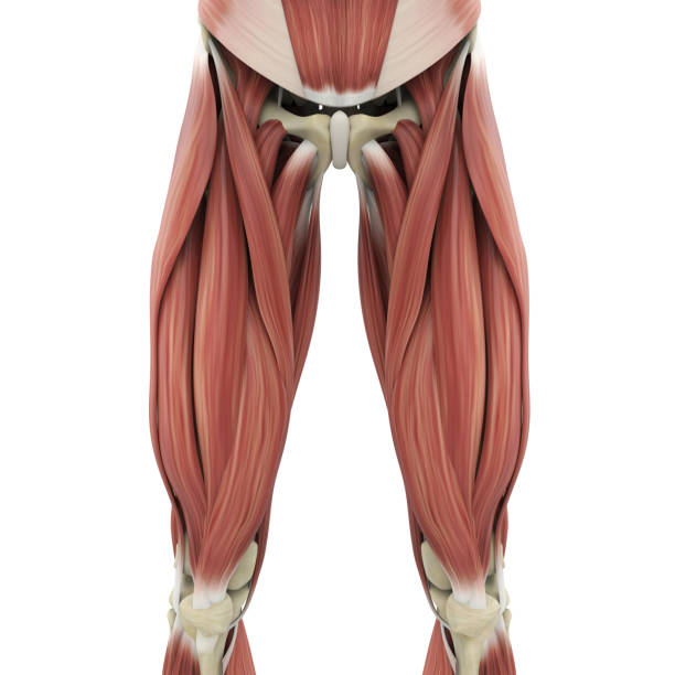 Quadriceps Muscle Stock Photos, Pictures & Royalty-Free ...