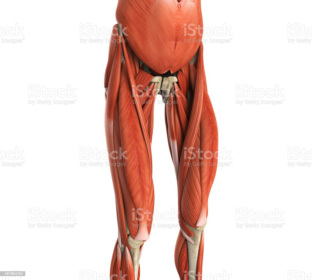 Upper Legs Muscles Anatomy Stock Photo & More Pictures of 2015 | iStock