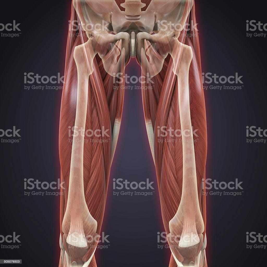 Upper Legs Muscles Anatomy stock photo