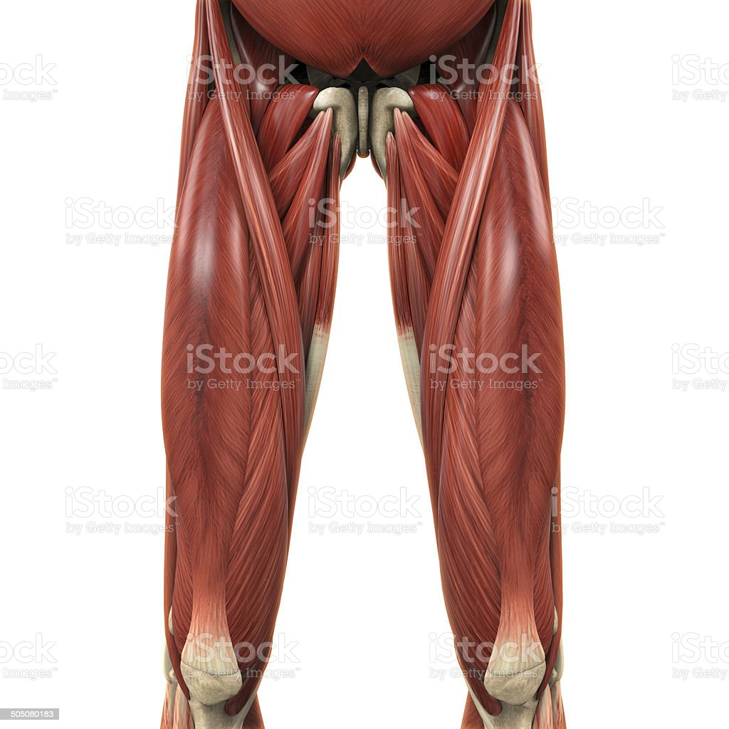 Upper Legs Muscles Anatomy stock photo
