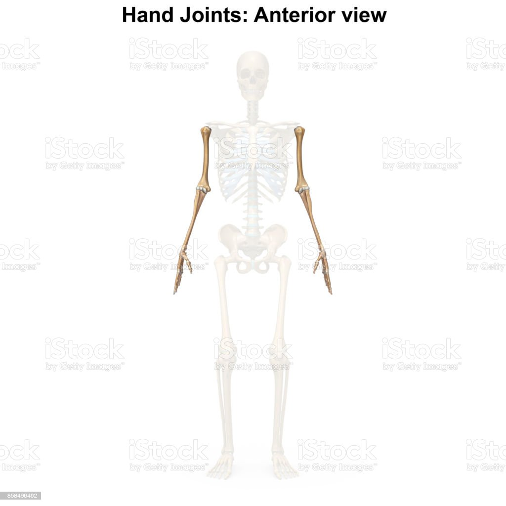 Upper Limbs Stock Photo More Pictures Of Anatomy Istock