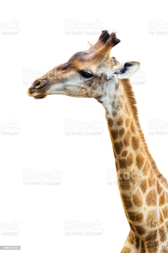 Upper part of giraffe with isolated background foto stock royalty-free