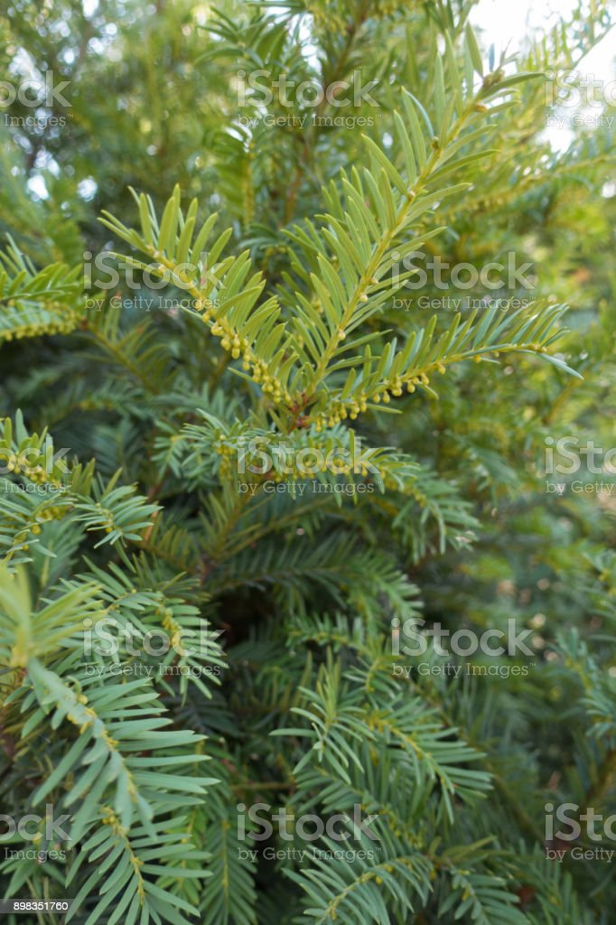 Upright branch of yew with immature male cones stock photo