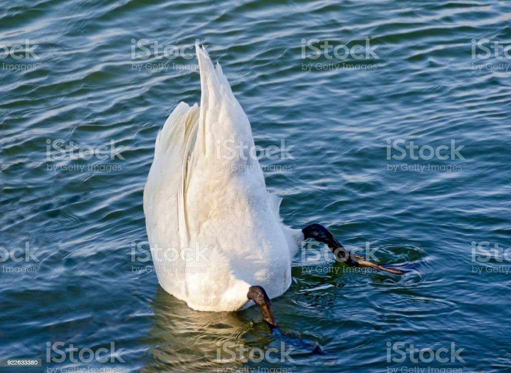 Upright diving swan stock photo