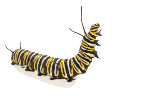 Upright Monarch Caterpillar