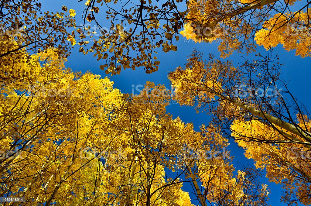 Uprising angle shot of yellow Aspen forest with blue sky stock photo