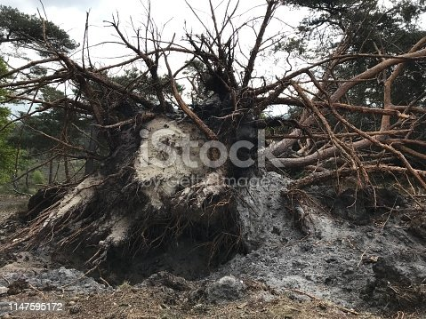 Uprooted pine tree in the heath area cold Brunssummerheide