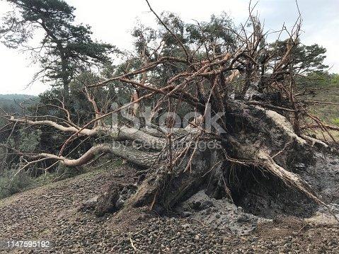 Uprooted pine tree in the heath area cold Brunssummerheide