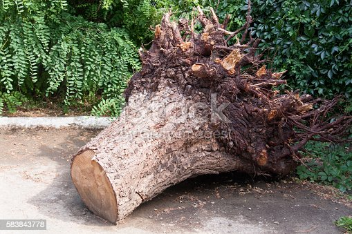 uprooted stump of the tree in the park.
